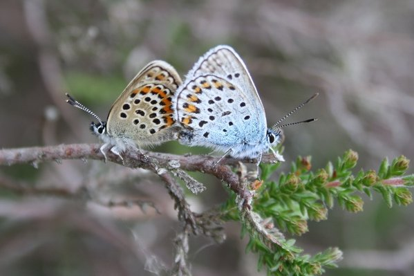 Male and female - mating